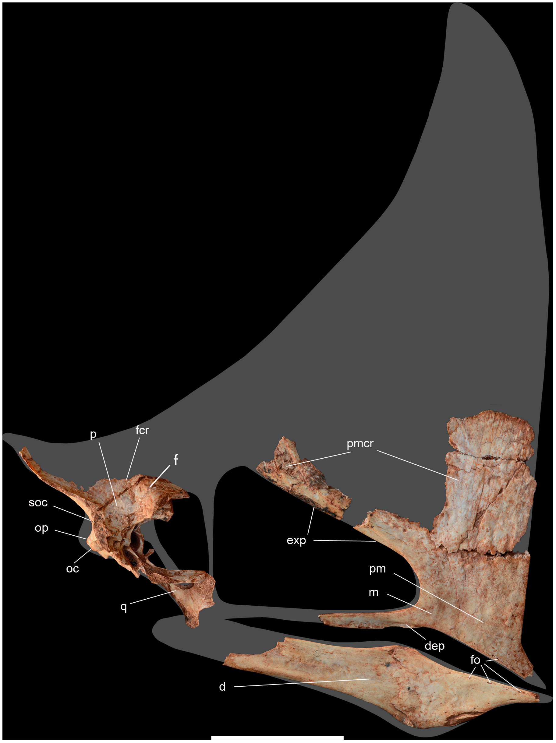 Skull of an adult Caiuajara dobruskii specimen.Image Source: Manzig PC, Kellner AWA, Weinschütz LC, Fragoso CE, Vega CS, et al. (2014) Discovery of a Rare Pterosaur Bone Bed in a Cretaceous Desert with Insights on Ontogeny and Behavior of Flying Reptiles. PLoS ONE 9(8): e100005. doi:10.1371/journal.pone.0100005