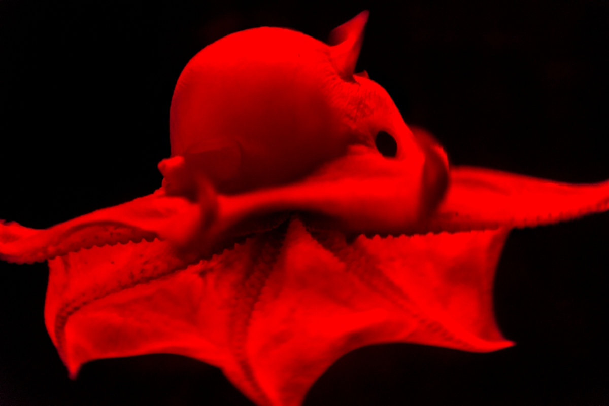 newly described octopus to be named opisthoteuthis adorabilis in