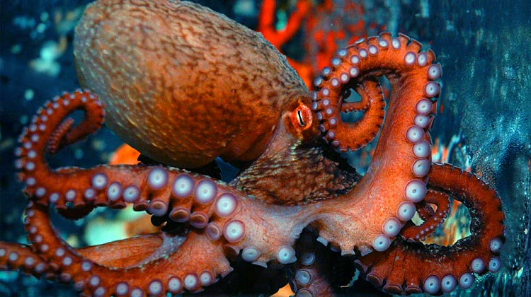 Scientists Agree: Octopuses Are Intelligent, and Might ...